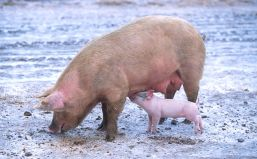 1024px-Sow_with_piglet