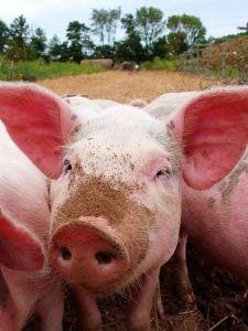 576px-Pigs-21272